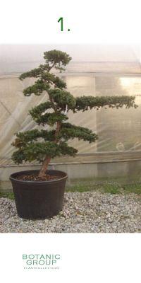 Taxus cuspidata Gardenbonsai