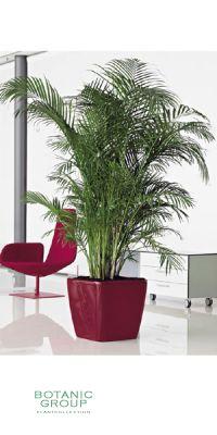 Chrysalidocarpus lutescens - Areca Palm  in a Planter