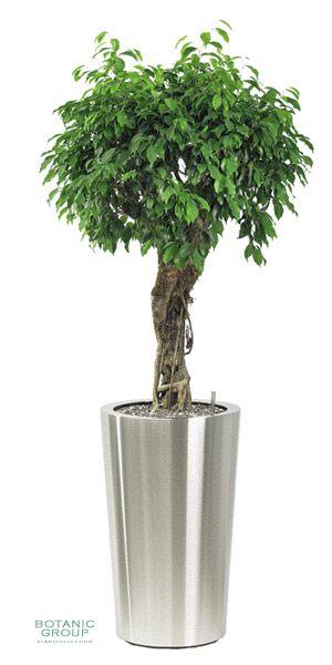 Ficus Benjamina Columnar