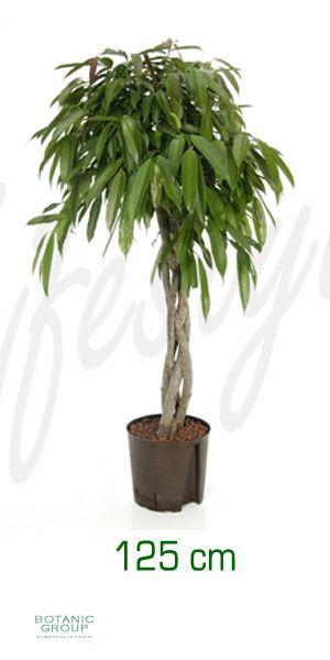 Ficus amstel king stem braided