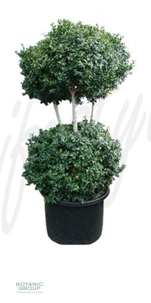 Buxus sempervirens bonzai