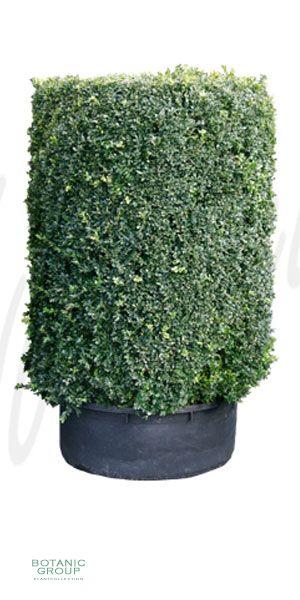 Buxus sempervirens Cylinder