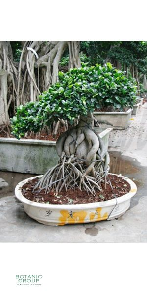Ficus microcarpa ginseng - Ficus bonsai