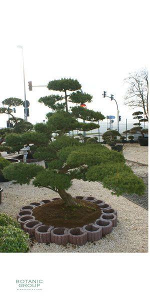 Taxus cuspidata bonsai - Garden Bonsai