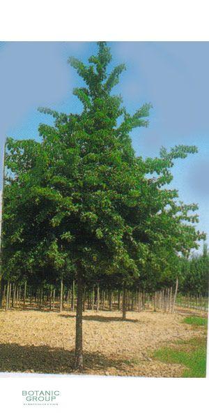 Acer campestre - Feldahorn Stammbusch