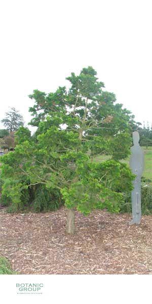 Chamaecyparis obtusa - Hinoki Cypress