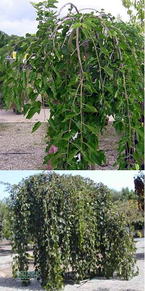 Morus alba `Pendula`- Weeping white mulberry