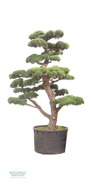 Pinus parviflora `Glauca`- Bonsai