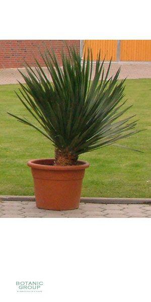Dracaena Draco - Dragontree