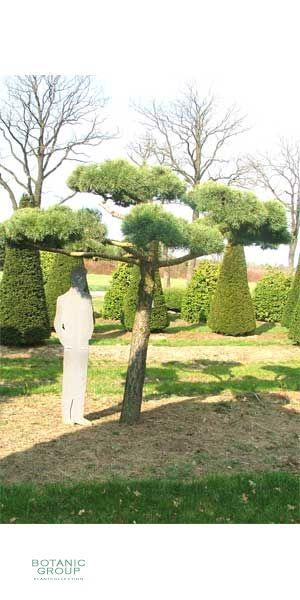 Pinus sylvestris Norske Bonsai