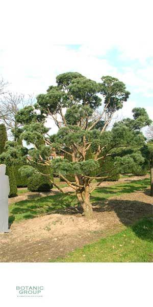 Pinus sylvestris Watereri Bonsai - Silber-Föhre