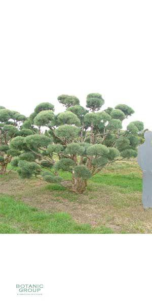 Pinus sylvestris Watereri Bonsai