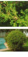 Bambusa multiplex ´Elegans´