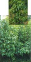 Bambus - Chimonobambusa quadrangularis