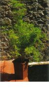 Bambus - Chusquea coronalis