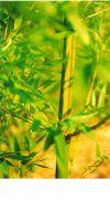 Bambus - Phyllostachys arcana