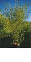 Bambus - Phyllostachys heteroclada