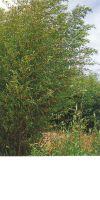 Bambus - Phyllostachys rubromarqinata