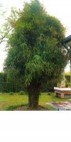 Bambus - Pleioblastus gramineus
