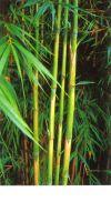 Bambus - Pleioblastus hindsii
