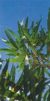 Bambus - Pseudosasa amabilis