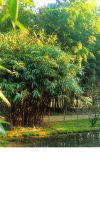 Bambus - Pseudosasa japonica ´Tsutsumiana´