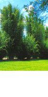 Bambus - Bambusa oldhamii