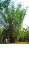 Bambus - Bambusa textilis