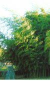 Bambus - Phyllostachys nigra ´Boryana´