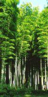 Bambus - Phyllostachys pubescens