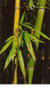 Bambus - Phyllostachys violascens