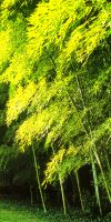 Bambus - Phyllostachys viridis