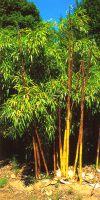 Bambus - Phyllostachys vivax