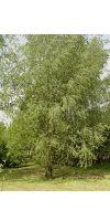 Salix alba - Willow