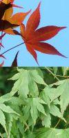 Acer palmatum - Japanischer Fächerahorn
