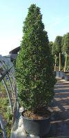 Carpinus betulus Fastigiata Monument