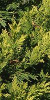 Chamaecyparis lawsoniana Stardust -  Lawsons Cypress