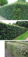 Acer campestre - Feldahorn, Heckenpflanze