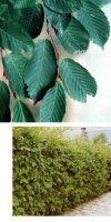 Carpinus betulus - Hainbuche, Heckenpflanze