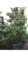 Magnolia grandiflora Galisoniensis - Magnolie