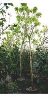 Catalpa bignonioides Aurea - Indian bean tree