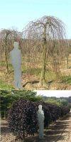 Fagus sylvatica Purpurea Pendula