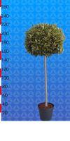 Laurus nobilis - Echter Lorbeerbaum Kugel auf Stamm
