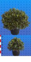 Laurus nobilis ball