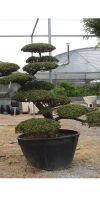 Taxus cuspidata Garden- bonsai