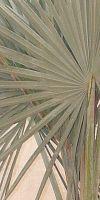 Bismarckia nobilis in a Planter