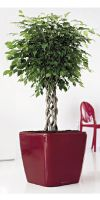 Ficus benjamina  in a Planter