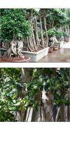 Ficus microcarpa - Ficus bonsai