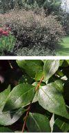 Abelia grandiflora - Abelia