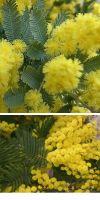Acacia - thorntrees, wattles (div. Species)